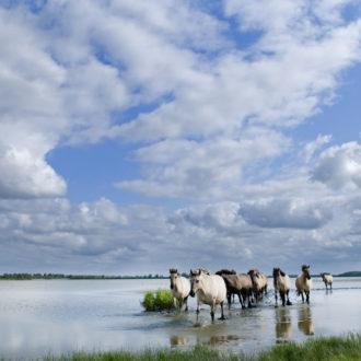 kudde_paarden_lauwersmeer_friesland